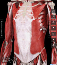 Photo Courtesy of The Muscle System Pro III (Copyright 3DMedical.com) My favorite muscle system app.